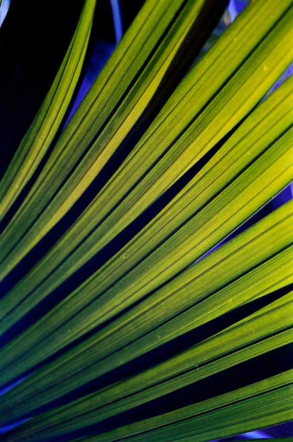 Palm Branches by Kate Branch via Wikimedia Commons