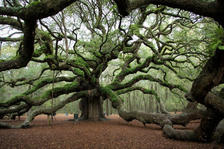 The Angel Oak Tree, Johns Island near Charleston, South Carolina