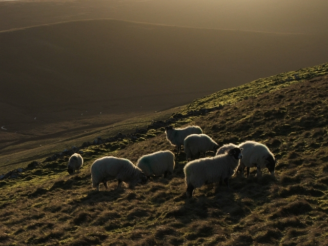 Sheep in Winter Sunlight by Steve Partridge via Wikimedia Commons