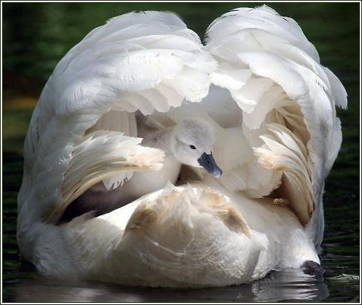 swan sheltering chick under wings